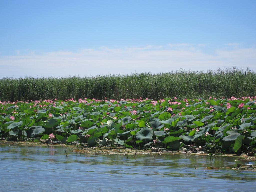 В дельте Волги зацвели лотосовые поля
